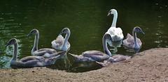 DSCF0845 (philm54) Tags: swans cygnets