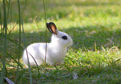 Marsmallow Baby Rabbit (Eleu Tabares) Tags: rabbit baby wild wildlife animal