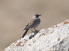 Horned Lark (female) (Oleg Chernyshov) Tags: hornedlark eremophilaalpestris   eremophilaalpestrisaltaica