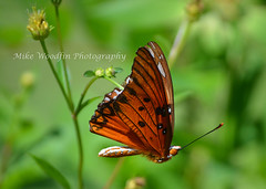 Gulf Fritillary Butterfly (Mike Woodfin) Tags: photo picture photography photograph photos photoshop pretty park mikewoodfin mikewoodfinphotography butterfly fuji florida fl brandon hillsborough hillsboroughcounty nikon nature canon contrast color country