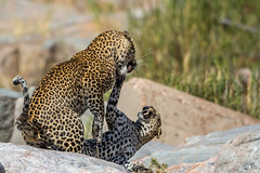 The lady doth protest too much... (Willievs) Tags: specanimalphotooftheday specanimal