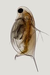 Daphnia (mr.sansibar) Tags: waterflea focusstacking heliconfocus cladocera crustacea daphnia zooplankton olympusbh2 photomicrography microscopy