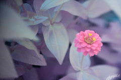 IMG_8322 (gregeryhitchcock) Tags: rose 40d conversion full spectrum ir near infrared uv ultraviolet nir nuv flower flowers insect 50mm tilt shift ts f18 18 macro