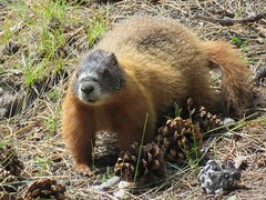 A yellow-bellied marmot on the Memorial grounds (JJP in CRW) Tags: mountrushmore southdakota wildlife marmots rodents