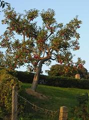 Apfelbaum mit roten pfeln; Sderstapel, Stapelholm (27) (Chironius) Tags: stapelholm sderstapel schleswigholstein deutschland germany allemagne alemania germania    ogie pomie szlezwigholsztyn niemcy pomienie frucht fruit frutta owoc fruta  frukt meyve    buah rosids fabids rosales rosenartige rosaceae rosengewchse rosoideae pyreae kernobstgewchse pyrinae apfel malus baum bume tree trees arbre  rbol arbres  rboles albero  rvore aa boom trd rot