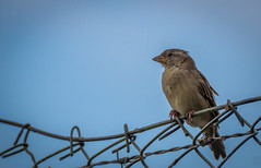 Wired Sparrow (m3dborg) Tags: sparrow bird animal wire outdoor wildlife sony a77ii tamron70300f456