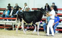 Interior Provincial Exhibition & Rodeo (james.watt44) Tags: armstrongbc 4h shuswapdairy4h dairycows dairycattle dairy ipe interiorprovincialexhibition interiorprovincialexhbitionrodeo cows calves calf fair shuswap4hdairy