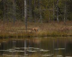 Fox by the lake (carina.brannstrom_hnc) Tags: fox lake infinitexposure
