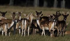 3H8A4009 (shay connolly) Tags: fallow deer dublin phoenix parl wildlife shay connolly
