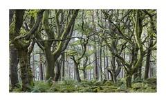 darkwoods10 (ciollileach) Tags: woodland oaks twisted peakdistrict haunted tangled