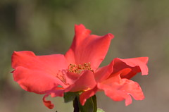 Autumn rose (dfromonteil) Tags: rose rosebud pastel vert green macro bokeh fleur flower nature plante plant light morning matin lumire