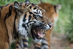 Joanne (ToddLahman) Tags: joanne sandiegozoosafaripark safaripark sumatrantiger babysumatrantiger tigers tiger tigertrail tigercub canon7dmkii canon canon100400 escondido closeup