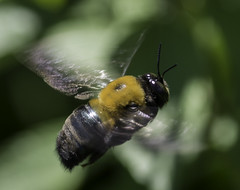 Bee_SAF7336 (sara97) Tags: bee copyright2016saraannefinke flyinginsect insect nature outdoors photobysaraannefinke pollinator saintlouismissouri towergerovepark