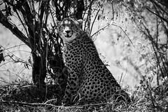 Guepardo / Cheetah (rrmontero) Tags: animal animals safari masaimara africa kenia kenya wildlife guepardo cheetah
