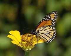 Monarch (Danaus plexippus) (AllHarts) Tags: monarchdanausplexippus dixongardens memphistn butterflygallery challengeclubchampion