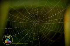 Cobweb spider drops (Julies Camera) Tags: raindrops waterdrops flowers kowhai rosemary capedaisy poppy ferns buddleia daisy cobweb calendular alyssum abutilon marco droplets cobwebs quakinggrass onionweed