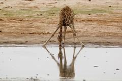 narcissistic giraffe (philliefan99) Tags: game reflection nature water mammal wildlife drinking safari zimbabwe giraffe wateringhole southernafrica giraffacamelopardalis hwangenationalpark megafauna