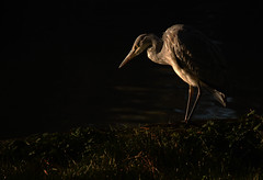 Heron in First Light (blinkingidiot) Tags: heron grey nottinghamshire universityofnottingham highfieldpark mygearandme nottinghamwildlife