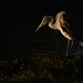 Heron in First Light