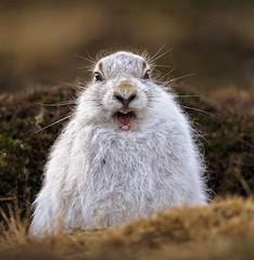 Mountain Hare - Hare that thinks it's a lion! (Margaret J Walker) Tags: nature water mammal scotland wildlife cairngormsnationalpark scottishhighlands mountainhare specanimal specanimalphotooftheday nikond700