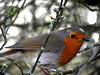 """""""Its A Robin"""" (Galeyo) Tags: me2youphotographylevel1 freedomtosoarlevel1birdphotosonly freedomtosoarlevel1birdsonly"""