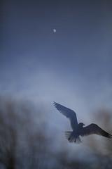 Blending in with the darkness (HOWLD) Tags: sunset moon canon gull outoffocus howd oaklandlake bookeh oaklandgardens 5dmiii howardlaudesign