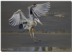 Great Blue Heron (Betty Vlasiu) Tags: blue bird heron nature wildlife great ardea herodias freedomtosoarlevel1birdphotosonly freedomtosoarlevel1birdsonly