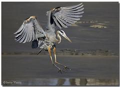 Great Blue Heron (Betty Vlasiu) Tags: blue bird heron nature wildlife great ardea herodias freedomtosoarlevel1birdphotosonly freedomtosoarlevel1birdsonly