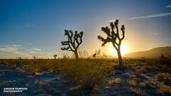 Joshua Trees (Andrew_Dempster) Tags: california sunset usa america joshuatree hdr yuccabrevifolia hdrefexpro2