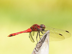 Madder  (E-PM1) Tags: nature japan insect dragonfly bugs