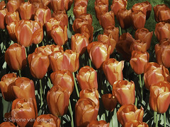 "Field of Red Tulips • <a style=""font-size:0.8em;"" href=""http://www.flickr.com/photos/44019124@N04/8310979930/"" target=""_blank"">View on Flickr</a>"