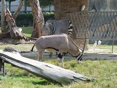 Beisa Oryx - East African Oryx (Oryx beisa) at Taipei Zoo (臺北市立動物園 - 木柵動物園), Taiwan (Loeffle) Tags: zoo taiwan taipei taipeh oryx equus 木柵動物園 taipeizoo burchellszebra beisaoryx equusquaggaburchellii hippotigris 臺北市立動物園 oryxbeisa muzhazoo eastafricanoryx 112012 ostafrikanischeoryx