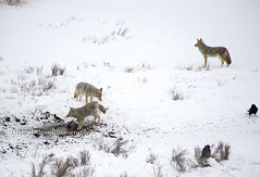 coyotebisoncarcass001 (Deby Dixon) Tags: travel nature landscape photography nationalpark wolf wildlife moose fox yellowstonenationalpark wyoming bison wyo bullelk debydixonphotography