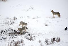 coyotebisoncarcass001 (Deby Dixon) Tags: travel nature landscape photography nationalpark wolf wildlife moose fox yellowstonenationalpark wyoming bison wyo bullelk debydixonphotography