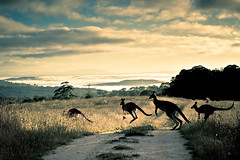 scattering rays, roos and rosella (stillshunter) Tags: morning cloud mountain silhouette clouds sunrise landscape dawn morninglight bush australia kangaroo kangaroos