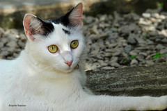 YOKO (Angela Raposo) Tags: portrait pet nature animal cat retrato natureza gata yoko naturelove animaldomstico nikond3000
