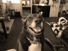 Happy Dog (cjacobs53) Tags: dog white mutt jacobs bela clack jacobsusa 112picturesin2012 2012picture