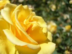 Energa (0_Detalles_0) Tags: color luz rosa amarillo suave ptalos energa delicados frgiles