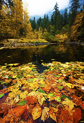 Leaf Collage, Merced River (DM Weber) Tags: california park autumn fall leaves collage canon river landscape leaf floating merced national yosemite eos5dmk2 psa148 dmweber