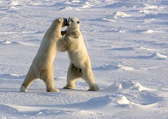 Two Male Polar Bears Sparring (1) (John Hallam Images) Tags: bear snow canada ice standing manitoba polarbear churchill males cape polar upright vapour sparring hudsonbay capechurchill polarbearssparring bearssparring