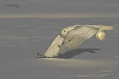 Snowy Owl (Male) (Steve Gilchrist) Tags: winter wild snow ontario canada bird nature birds canon snowy © hamilton s raptor 7d owl sg shimmer 2012 skimmer snowyowl gilchrist wildbirds canon7d