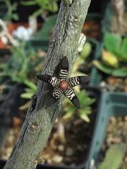 Rhytidocaulon macrolobum (odds&endssg) Tags: asclepiadaceae stapeliad rhytidocaulon
