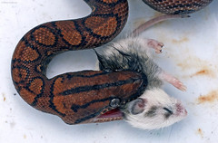 Snake vs Mouse (applemaccie) Tags: mouse feeding snake feed