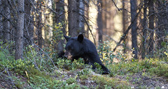 Having fun (seryani) Tags: bear trip viaje sunset summer vacation naturaleza holiday canada nature animal animals america canon rockies outdoors oso nationalpark américa scenery holidays jasper outdoor wildlife bears august paisaje agosto bosque alberta verano northamerica animales rockymountains vacations vacaciones blackbear jaspernationalpark canadá 2012 rocosas bosques canadianrockies parquenacional airelibre osos canadianrockymountains norteamérica animalessalvajes animalsalvaje osonegro montañasrocosas malignelakeroad parquenacionaldejasper 1dmarkiv canadarockymountains canoneos1dmarkiv august2012 canonef70200f28lisii summer2012 montañasrocosasdecanadá verano2012 agosto2012 vacaciones2012