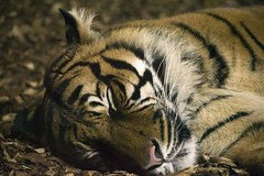 Tiger (Joey Mitchell 18) Tags: sleeping portrait orange holland cute up cat zoo big rotterdam close stripes tiger mammel