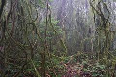 Vines (igomak) Tags: fog rainforest vine oreillys greenmountains lamingtonnationalpark sequeensland toolonacreek