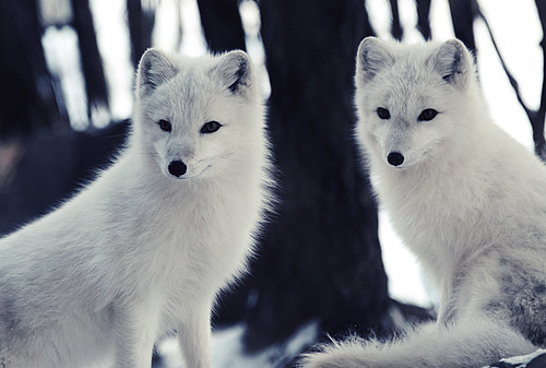 Arctic Foxes by Eric Kilby, on Flickr