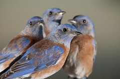 Papa Bird and 3 Sons --- Western Bluebird, Sialia mexicana --- EXPLORED (Pat Durkin - Orange County, CA) Tags: backyard westernbluebird sialiamexicana wildbirdsunlimited wbu