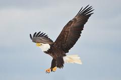 """Flight of the Icon"" (PeterBrannon) Tags: sky nova flight baldeagle scotia nationalgeographic birdwatcher 2013 novascotiacanada allofnatureswildlifelevel1 novascotiabirds"