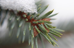 needles (MoshersMoll) Tags: christmas snow blur macro tree ice closeup pinetree pine branch dof seasonal christmastree pineneedles needles